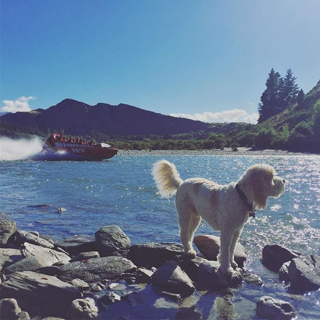 Dylbo Waggins (a.k.a. Dylan) sniffs out an early morning adventure with @ShotoverJetNZ